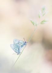 Aporias en clave alta (too15) Tags: macro bokeh butterflies olympus blanca nikkor mariposas omd aporia em5 fsuro