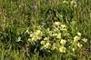 Primroses growing wild (Vee living life to the full) Tags: uk flowers england bluebells wales flora may blumen british wildflowers primroses 2015 isleofanglesey nikond300 shootaboot shootaboot2