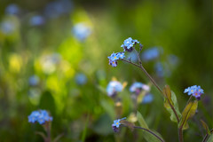 Forget-me-not - In the shade of the trees (aveyardphotography) Tags: flowers blue trees sunlight green grass petals purple magenta shade forgetmenot dappled