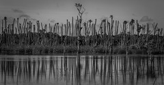 Osprey nest in the treeline (tshabazzphotography) Tags: trees blackandwhite bw birds animal canon palms outdoors orlando photographer wildlife wideangle urbannature wetlands pan dslr predator mothernature cypresstrees osprey birdsofprey refection waterreflection centralflorida centralfloridaphotographer canont5i canonoffical