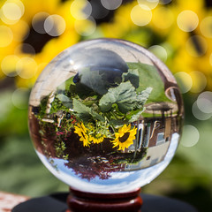 IMG_3448 (Clickingnan) Tags: sunflowers crystalball