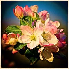 Wild Apple Blossoms (J Henry G) Tags: macro apple wildapple wildappleblossoms johnhenrygremmer