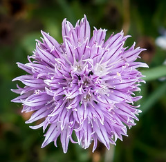 157/266. Chive flower. 366 Project 2 - 2016 (dorsetpeach) Tags: pink flower purple mauve 365 chive 2016 366 aphotoadayforayear 366project second365project