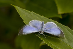 Wings in motion.......Happy weekend! (The Mad Macrographer) Tags: uk macro butterfly garden outdoors peterborough hollyblue canon7d canonef100mmf28lmacroisusm nikkvalentine