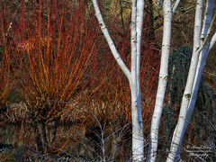 birch and dogwood (David Tovey Photography) Tags: trees england plant abstract david tree texture nature contrast silver landscape kent outdoor stems trunk birch dogwood tovey eyecacha