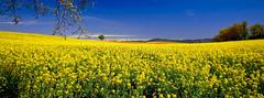 Encore dans mes champs......... (Malain17) Tags: sky panorama france nature colors composition fleurs jaune landscape photography europa image pentax photographers bleu arbres provence capture montagnes colza