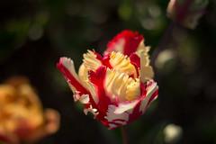 Tulip Fest (19 of 26) (evan.chakroff) Tags: flowers festival washington spring unitedstates tulips tulip april mountvernon tulipfestival mtvernon roozengaarde 2016