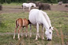 Jeunes poulains et leurs mres (claude.guigon.photo) Tags: nature cheval pentax provence camargue poulain vigueirat maraisduvigueirat