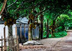 Jack fruit Tree (srijan.dusto) Tags: plant tree green landscape bangladesh jackfruit