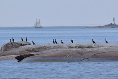 Great cormorants sitting on a skerry (JonasSuni) Tags: sea bird water animal fauna suomi finland outdoor wildlife
