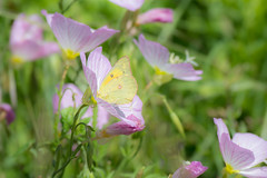Softly Spring (Linda Dyer Kennedy) Tags: field butterfly spring sulphur wildflowers cloudless springtime