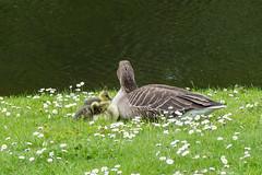 Greylag goslings (Graham Dash) Tags: birds geese surrey goslings cobham wildfowl painshillpark painshill greylaggeese greylaggoslings