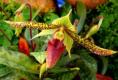 Slipper Orchid - Paphiopedilum 'Sukhakulii' (elliott.lani) Tags: flowers red orchid flower color colour green nature beautiful outdoors petals orchids bright blossom vibrant stripes blossoms petal foliage colourful lani speckled allrightsreserved paphiopedilum patterned naturephotography paphiopedilumsukhakulii greenstripes sukhakulii paphiopedilums slipperorchids elliottlani lanielliott