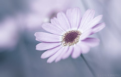 in  silence (t1ggr) Tags: nature floral closeup outdoors petals samsung mirrorless nx30