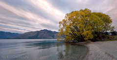 Wakatipu Willow (Panorama Paul) Tags: newzealand panorama clouds sunrise queenstown lakewakatipu willowtrees nikkorlenses nikfilters nikond800 wwwpaulbruinscoza paulbruinsphotography