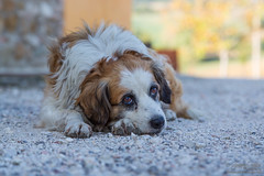 Elder stray dog (Giuseppe Cammino) Tags: italy dog canon eos it 5d ef marche 2015 castelraimondo canoneos5d ef24105mmf4lisusm canoneos5dmarkiii 5dmarkiii giuseppecammino