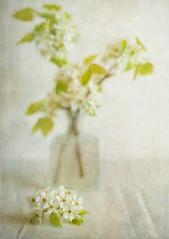 White Blossoms-5992 (lornahamblin) Tags: flowers white green glass spring blossoms fast stillife manualfocus springtime neutral zuiko5018 legacyglass vintageprime