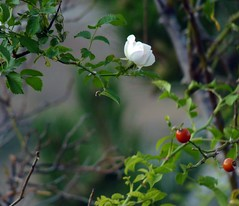 Rosa di macchia: l'ultimo fiore e le prime bacche (giorgiorodano46) Tags: rose rosa september abruzzo appennino apennines 2011 calascio roccacalascio settembre2011 giorgiorodano