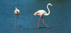Flamingo's 3 (Meino NL) Tags: france flamingo aves frankrijk vogel camargue saintesmariesdelamer phoenicopteriformes phoenicopteridae parcnaturelrgionaldecamargue leparcornithologiquedepontgaule