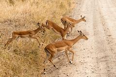 ladies first (Jose Antonio Pascoalinho) Tags: africa wild nature animals fauna tanzania outdoor wildlife safari savannah wilderness impala serengeti grazers safariphotography zedith
