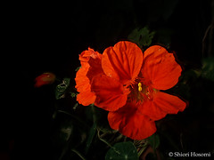 Tropaeolum majus (Shiori Hosomi) Tags: flowers plants japan night tokyo nocturnal nightshot may tropaeolum   2016  tropaeolaceae geraniales   noctuary flowersinthenight  noctivagant  23