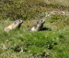 Groundhogs (eltpics) Tags: swimming rodent digging woodchuck groundhog burrowing hibernator eltpics