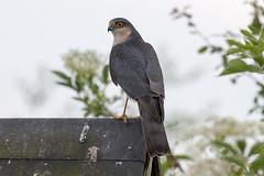 Sparrowhawk Accipiter nisus (Vortex Photography - Duncan Monk) Tags: bird pool hawk rail hide sparrow moors warren hunter prey sparrowhawk upton accipiter nidus
