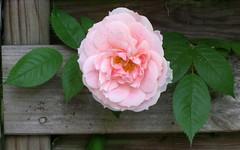 Den Herren meine Seel' erhebt (amras_de) Tags: flower fleur rose flor rosa roos blomma rosen gl blume fiore blte blomst rs rozen virg lore bloem blm iek floro roser kwiat flos ciuri kvet arrosa kukka rozes cvijet vrtnica flouer blth cvet zieds ruusut is trandafir floare rza rua rzsa blome rozo iedas roe rue rosslktet