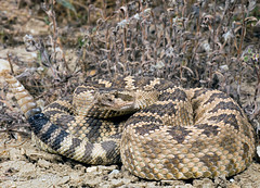 Northern Pacific Rattlesnake (Crotalus oreganus oreganus) (David A Jahn) Tags: pacific northern viper plain rattlesnake venomous rattler crotalus carrizo oreganus crote