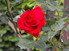 Red rose (Stella VM) Tags: flowers roses beautiful garden redroses