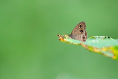 (mikleyu) Tags: nature animal butterfly insect canon7dmarkii