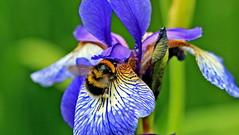 Farbtupfer... (Zatato) Tags: iris natur blume