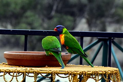 Lorikeets (purrly_cat) Tags: lorikeets australia blue green orange