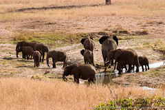 Elephants drinking what little water is left (3scapePhotos) Tags: africa tanzania animal animals continent drinking elephant elephants little safari tarangire water
