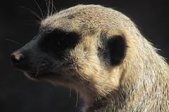 SURICATA_5161 (Annabell-Frias) Tags: animal animales suricata suricatasuricatta zoom closeup closeupanimal retratoanimal