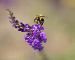 Nose dive (cuppyuppycake) Tags: flower june closeup purple bee pollen perennials