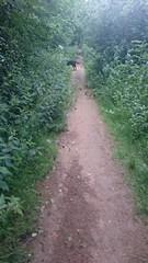 Hudson Sniffing (Filmstalker) Tags: mobile woods labrador path hudson chocolatelabrador hudsonbrunton
