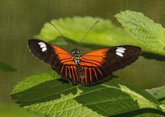 Postman (Heliconius melpomene) (AllHarts) Tags: ngc npc chicagobotanicgarden chicagoil butterflygallery naturescarousel postmanheliconiusmelpomene thesunshinegroup flickrsabsolutefinest