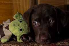 Charlie loves Yoda (Bryan Adams Photography) Tags: puppy labrador chocolate retriever labradorretriever