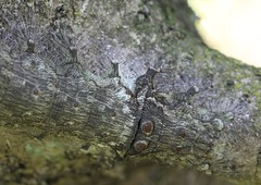 Amazing Camouflage Close Up (corey.raimond) Tags: camouflage blend blendin disguise tree treetrunk treetrunkcamouflage caterpillar wisconsin buckthorn insect lepidoptera tolype lasiocampidae disappear hide evolution naturalselection prey pattern nature ecology