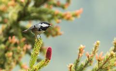 La noire (Eric Penet) Tags: wild mountain france bird animal montagne alpes juin wildlife savoie été oiseau forêt noire sauvage mésange conifère passereau