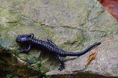 Alpensalamander (Aah-Yeah) Tags: bayern salamander salamandra atra achental chiemgau alpensalamander schwanzlurch