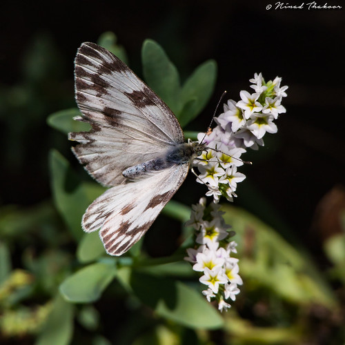 "Checkered White • <a style=""font-size:0.8em;"" href=""http://www.flickr.com/photos/59465790@N04/28133586006/"" target=""_blank"">View on Flickr</a>"