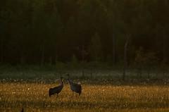 Deux grues - Grus grus (Samuel Raison) Tags: nature birds finland nikon wildlife oiseaux finlande grues grusgrus nikond3 nikon4200400mmafsgvr