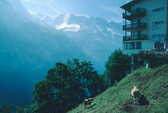 A Hotel with a View ((rob)) Tags: alps nature switzerland cow flickr hiking scenic features lauterbrunnen mountian swissalps murren hotelalpina