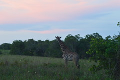 Sunset (Leela Channer) Tags: africa pink blue trees sunset green nature field animal clouds landscape mammal scenery kenya meadow hills giraffe shrub bushes shimbahills shimba