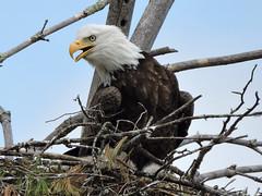 eagle12 (GWP Photography) Tags: bird animal interesting nikon nest eagle outdoor pennsylvania adler baldeagle pa coolpix eaglesnest aquila orel guia aigle waynecounty guila  orze milanville rn nestingpair     upperdelawareriver  waynecountypa coolpixp600