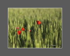 AMAPOLAS (Juan J. Marqués) Tags: flores verde primavera rustico campos