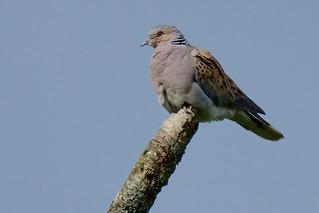 Turtle Dove (Explored)
