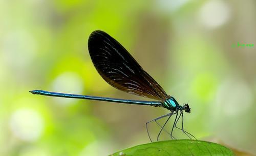 แมลงปอเข็มปีกเข้มโคนฟ้า / Matrona nigripectus (male)